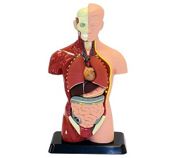 Human Anatomical Models Market
