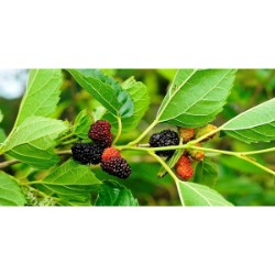 Mulberry Leaf Extract Market